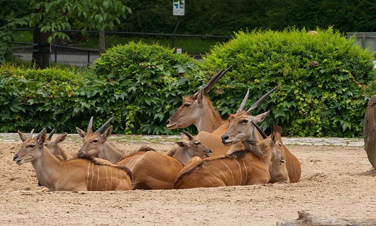 Антилопы в Берлинском зоопарке