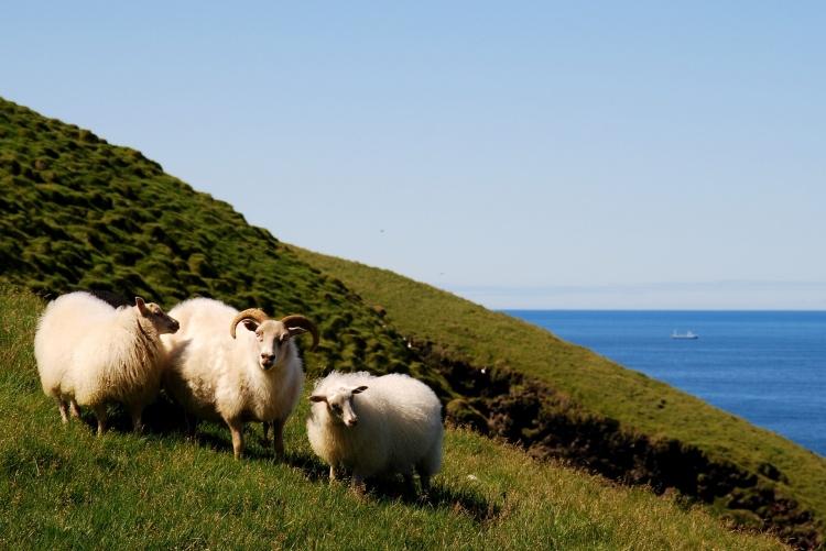 Выращиваение овец в Исландии
