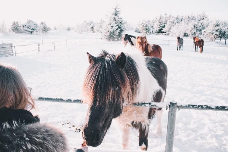 Фермы с животными в Исландии