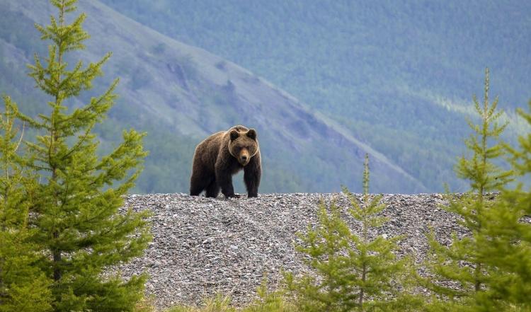 Медведи в Канаде