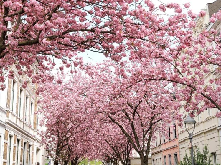Цветущие деревья весной в Германии