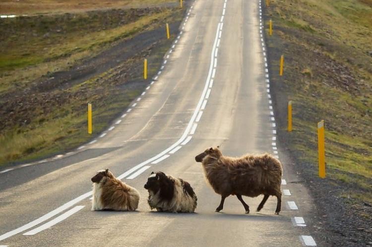 Животные на дорогах Исландии