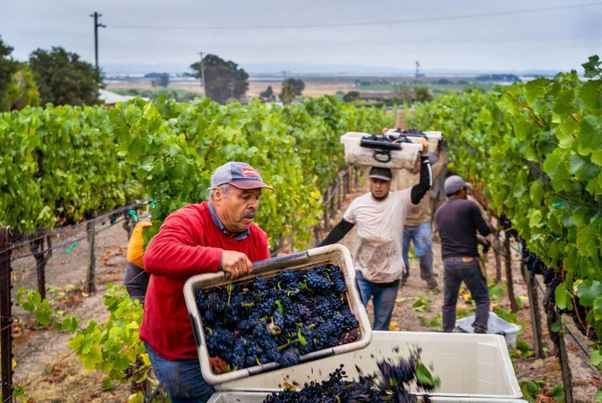 Грузия - праздник Ртвели - сбор винограда