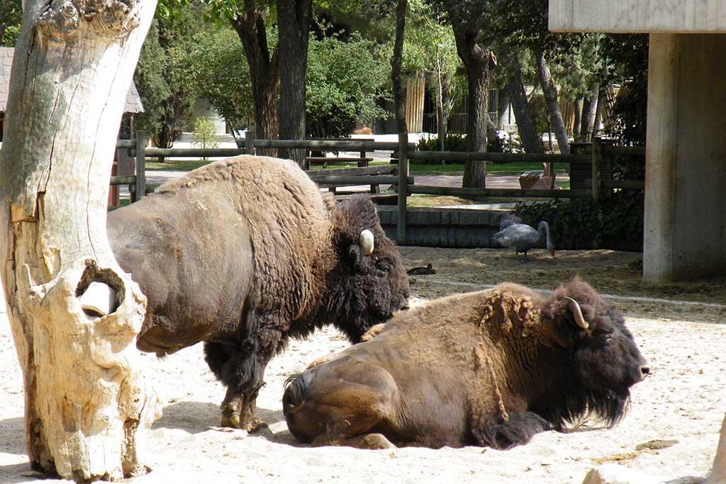 Зоопарк Мадрид, бизоны