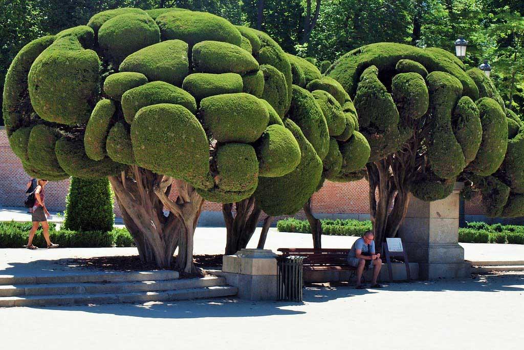 Знаменитый кипарис в парке Ретиро, Мадрид
