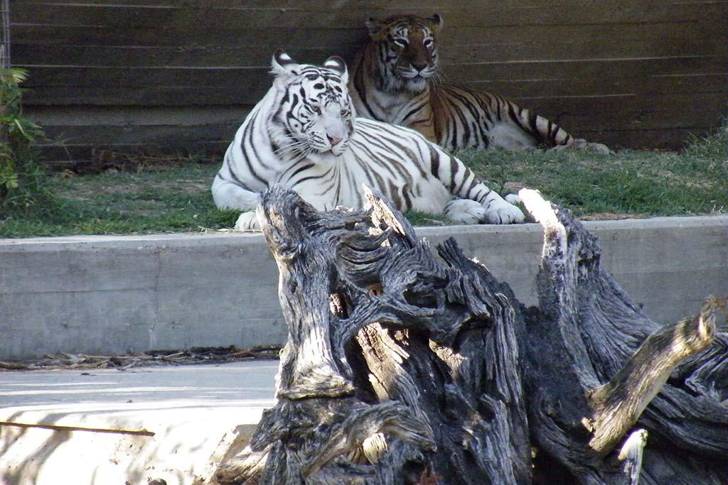 Бенгальский и обычный тигры в Мадридском зоопарке